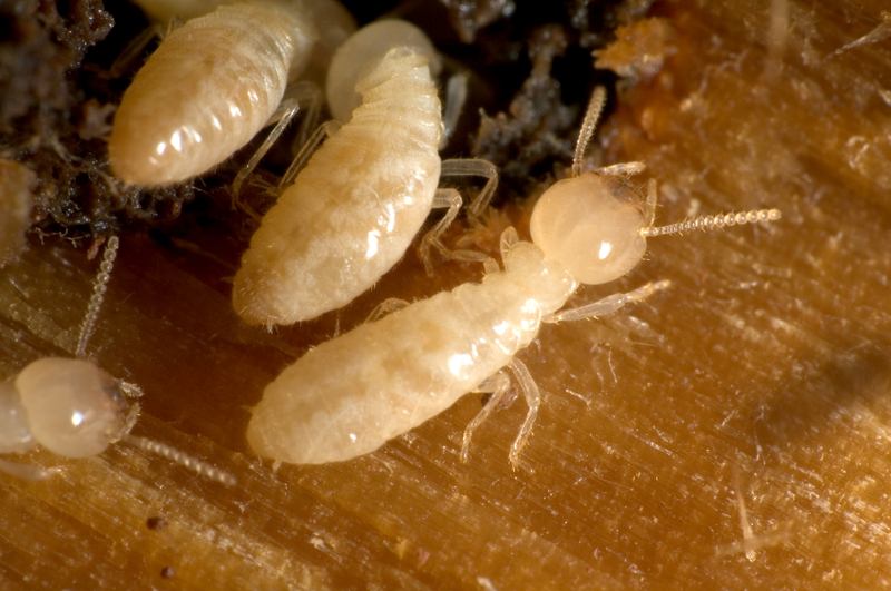 Image Result For Prevent Termites